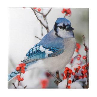 Arrendajo azul en Winterberry común Azulejo Cuadrado Pequeño