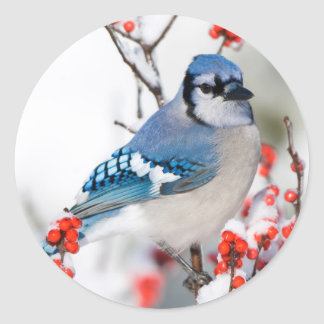 Arrendajo azul en Winterberry común Pegatina Redonda
