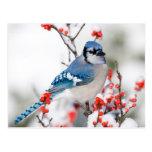 Arrendajo azul en Winterberry común Tarjeta Postal