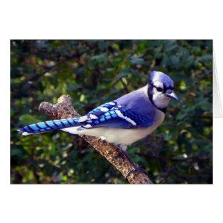 Arrendajo azul hermoso felicitacion