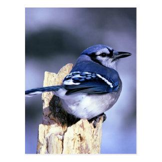 Arrendajo azul hermoso tarjeta postal
