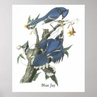 Arrendajo azul, Juan Audubon Póster