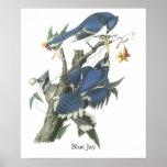 Arrendajo azul, Juan Audubon Posters