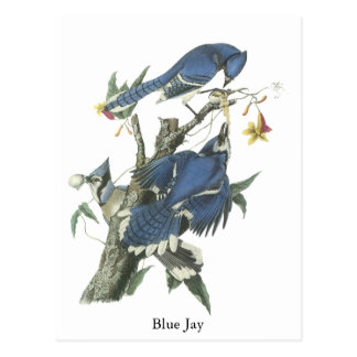 Arrendajo azul, Juan Audubon Tarjeta Postal