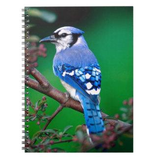 Arrendajo azul cuadernos