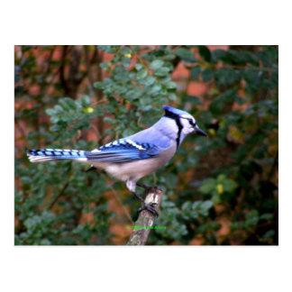 Arrendajo azul magnífico tarjetas postales