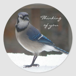 Arrendajo azul: Pensamiento en usted pegatina