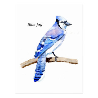 Arrendajo azul postal