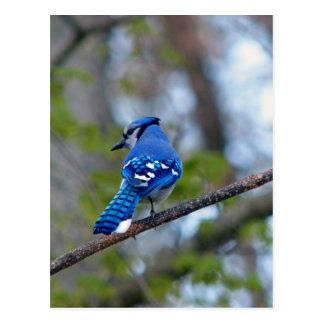 Arrendajo azul postales