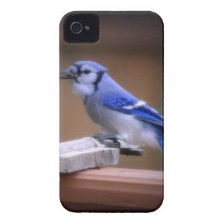 Arrendajo azul que come maíz carcasa para iPhone 4