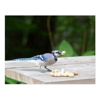 Arrendajo azul que consigue un cacahuete postales