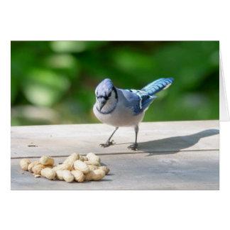 Arrendajo azul que consigue un cacahuete tarjeta de felicitación