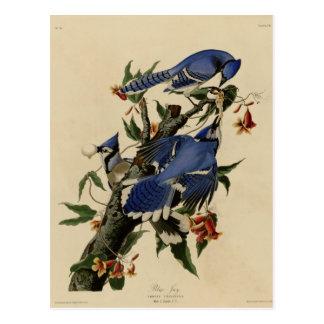 Arrendajo azul tarjeta postal
