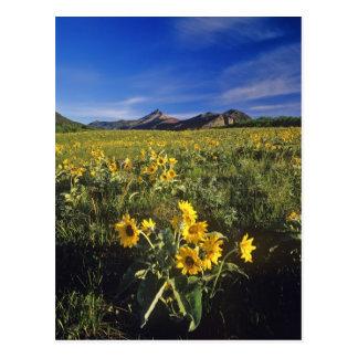 Arrowleaf balsomroot wildflowers in Waterton 2 Postcard