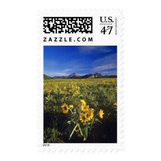 Arrowleaf balsomroot wildflowers in Waterton 2 Stamp