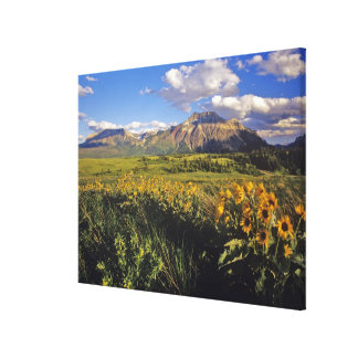 Arrowleaf balsomroot wildflowers in Waterton Canvas Print