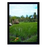 Arroz de arroz, Ubud Bali, Indonesia Tarjetas Postales