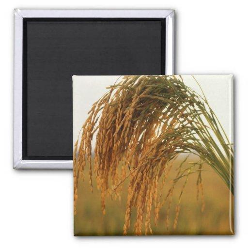 Arroz de grano largo imán cuadrado