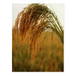 Arroz de grano largo postal