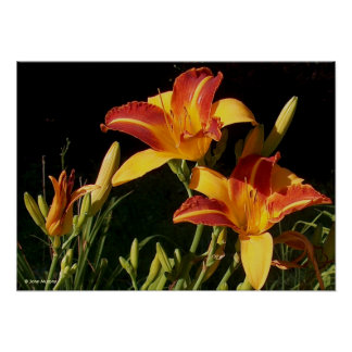 Art Poster / Print - Photograph Day Lilies in sun