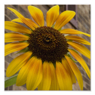 Art Print or Poster -- Sunflower in the City