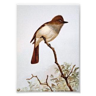 Arte con cresta del vintage del Flycatcher Impresion Fotografica