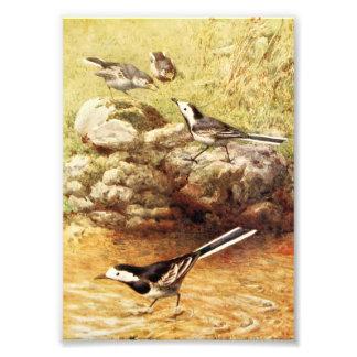 Arte de varios colores del vintage de los Wagtails Impresiones Fotográficas