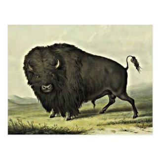 arte del búfalo tarjeta postal