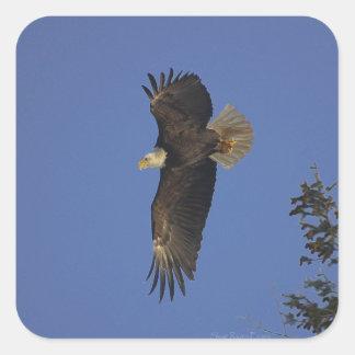 Arte del Fauna-partidario de Eagle calvo que vuela Pegatinas Cuadradases