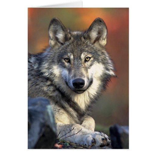 Arte del lobo gris tarjeta de felicitación