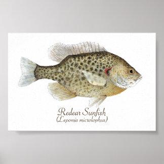 Arte del Sunfish de Redear Póster