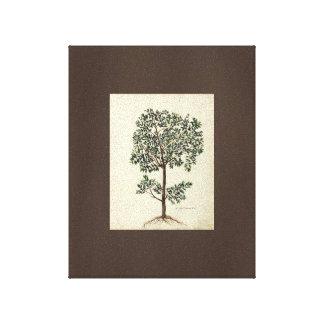 Arte del vintage que dibuja la lona botánica del o impresión de lienzo