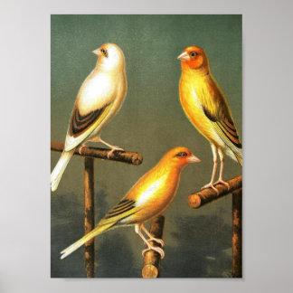 Arte-Pájaro-Canarias-y-jaula-pájaro-Goldfinch del  Póster