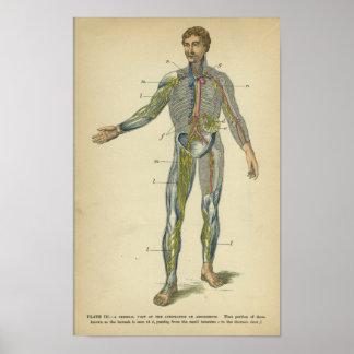Arterias de los nervios de la impresión de la anat póster