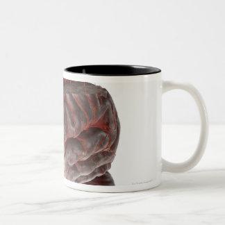 Arterias del cerebro 3 taza de dos tonos