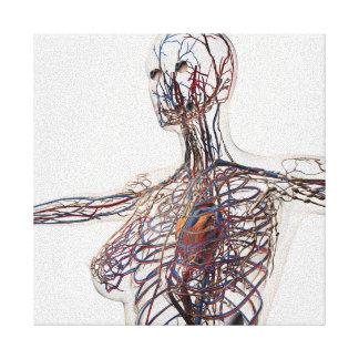 Arterias, venas, y sistema linfático 1 lona estirada galerías