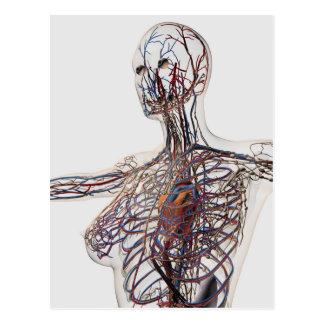 Arterias, venas, y sistema linfático 1 tarjeta postal