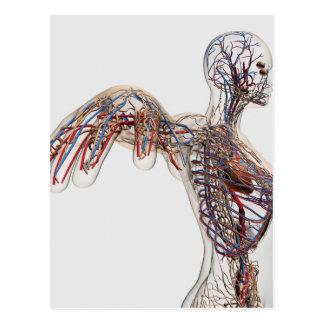Arterias, venas, y sistema linfático 2 tarjetas postales
