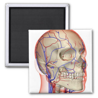 Arteries and veins in the head and neck 2 inch square magnet