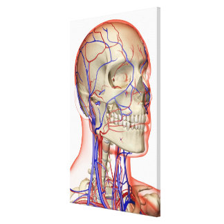 Arteries and veins in the head and neck canvas print
