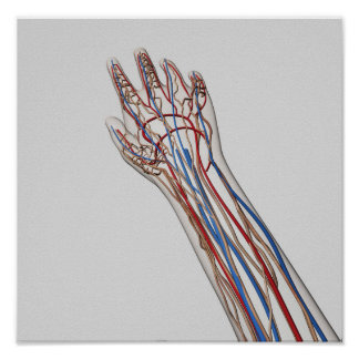 Arteries, Veins, And Lymphatic System 3 Print