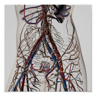 Arteries, Veins, And Lymphatic System 4 Poster