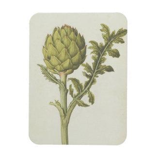 Artichoke: Cynara scolymus, c.1568 Rectangular Photo Magnet
