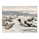 Ártico de la nieve de las focas de Groenlandia de  Tarjeta Postal
