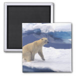 Ártico, Svalbard, morsa que es amistosa Iman De Frigorífico