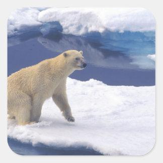 Ártico, Svalbard, morsa que es amistosa Pegatina Cuadrada
