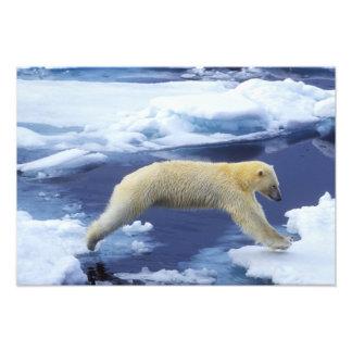 Ártico, Svalbard, oso polar que asoma con todos Fotografía