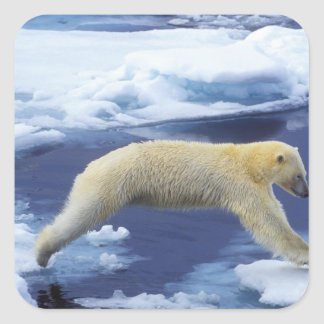 Ártico, Svalbard, oso polar que asoma con todos Calcomanía Cuadrada