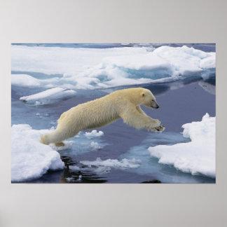 Ártico, Svalbard, oso polar que extiende y Poster
