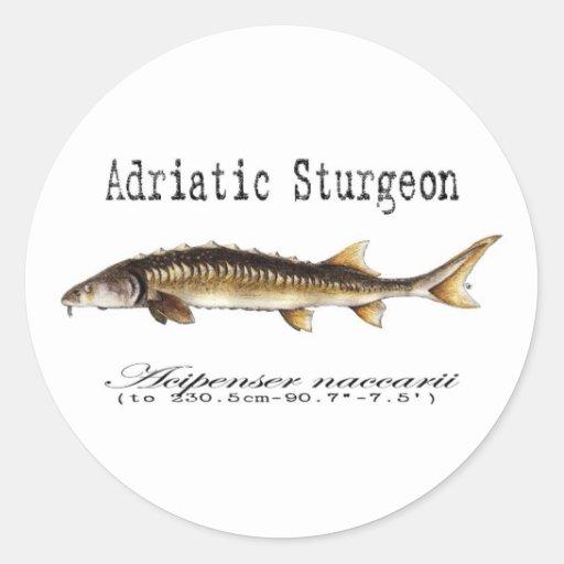 Artículo adriático del esturión pegatina redonda